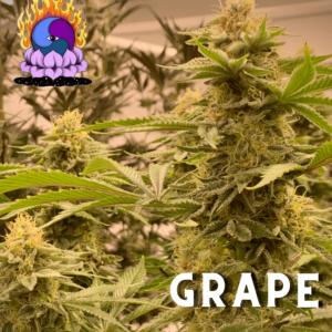 Massive Creations – Grape Gak F2